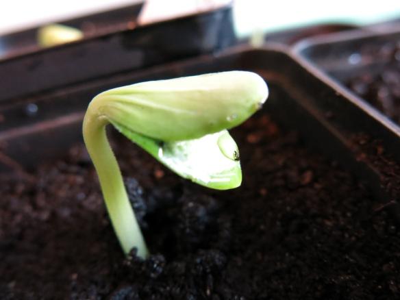19 april 16 squash frö planta