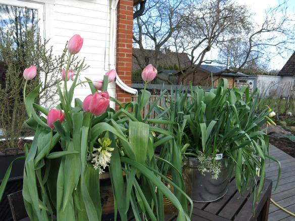 19 april 16 vårlökar kruka tulpaner