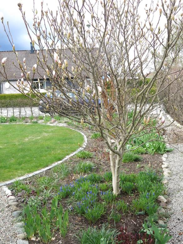 24 april 16 praktmagolia pärlhyacint