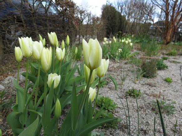 24 april 16 tulpan stäpprabatt purissima