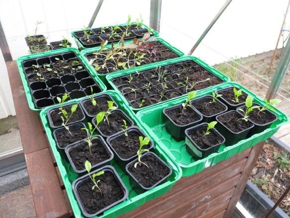 3 april 16 frösådder växthuset