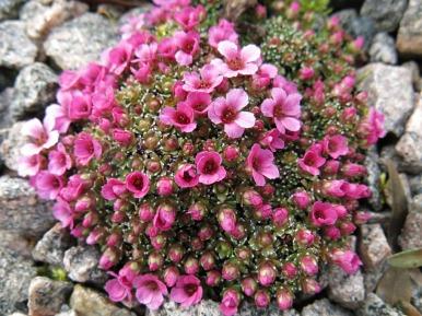 'Myriad seedling'