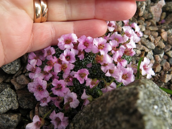 9 april 16 Saxifraga 'Sissi'