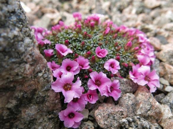 9 april 16 Saxifraga x lismoriensis 'Lismore Gem'