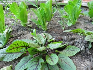 24 maj 16 trädgårdslandet grönsaker trädgårdssyra sallat little gem