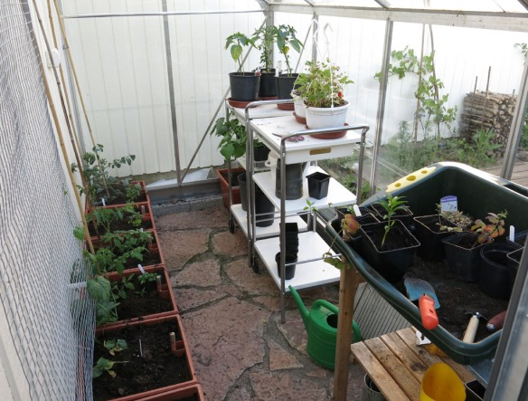 24 maj 16 växthuset tomater