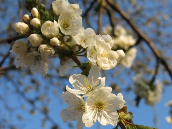 3 maj 16 bigarråträd blom