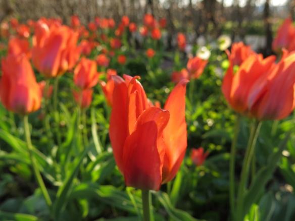 3 maj 16 tulpan orange toronto
