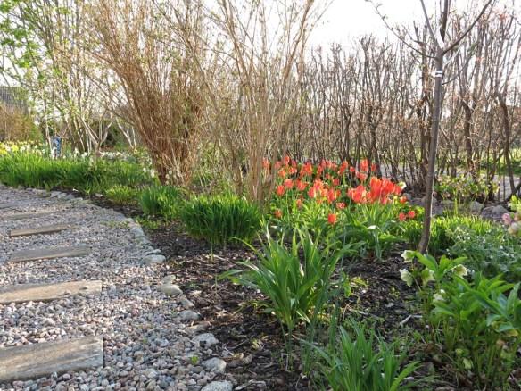 3 maj 16 tulpaner orange toronto trädhörnet