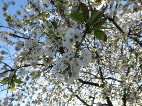 9 maj 16 lunden biggaråträd blommor