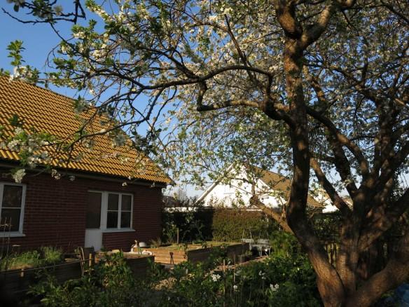 9 maj 16 lunden blommande bigarråträd plommonträd