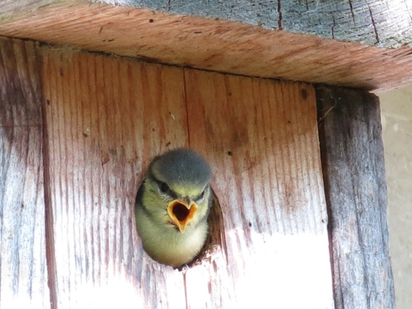 12 juni 16 blåmes fågelunge