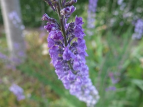 purpursporre