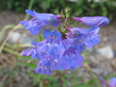 penstemon 'Delfts blue riding hood'