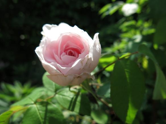 4 juni 16 ros Barbara austin