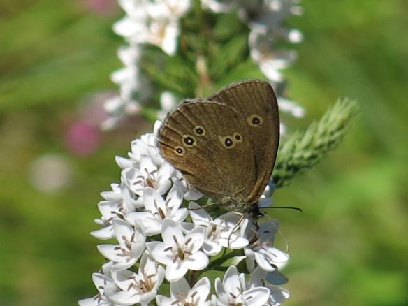 23 juli 16 vitlysning fjäril luktgräsfjäril