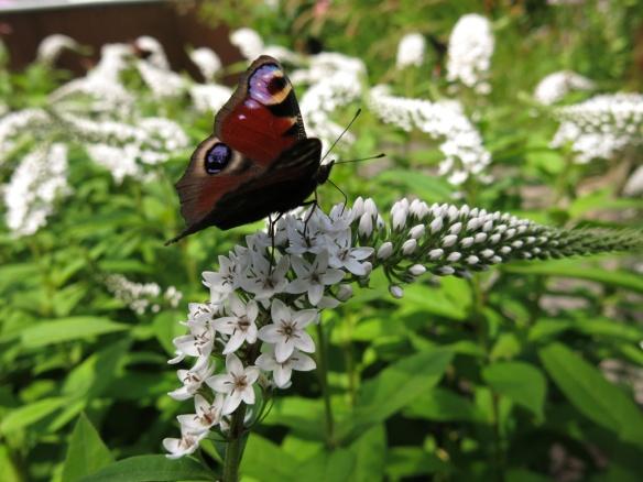 23 juli 16 vitlysning fjäril påfågelöga 1