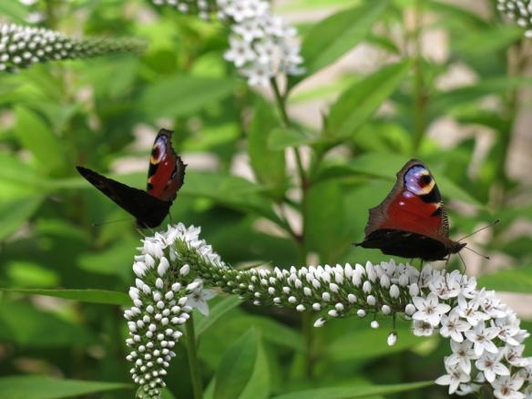23 juli 16 vitlysning fjäril påfågelöga 4