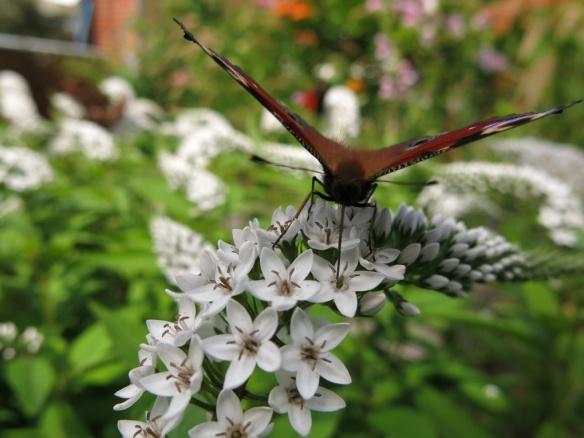 23 juli 16 vitlysning fjäril påfågelöga 5