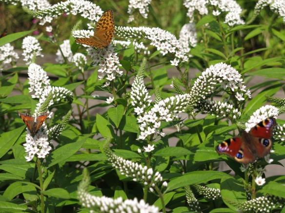 23 juli 16 vitlysning fjäril påfågelöga pärlemorfjäril nässelfjäril