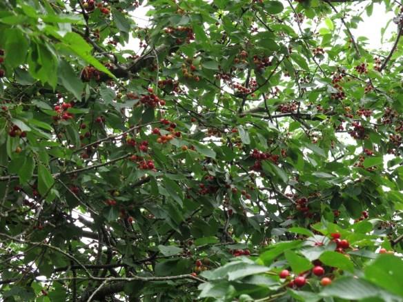 3 juli 16 körsbär bigarråträdet