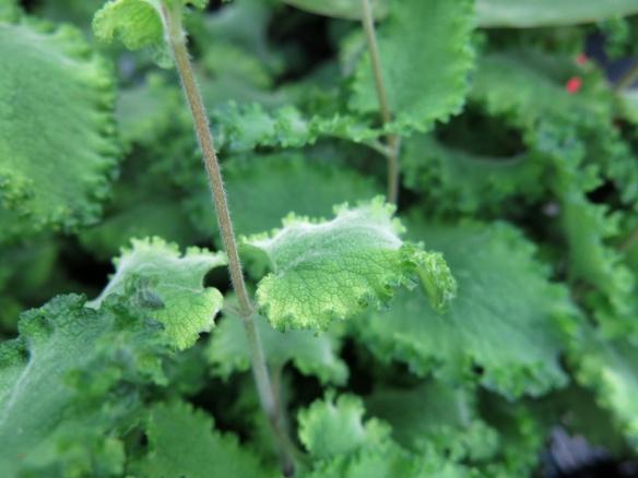 växtgåva juli 16 krusgamander