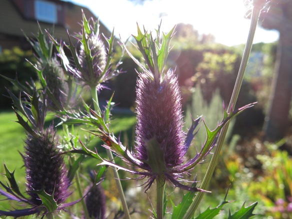 25 aug 16 stäpprabatten Eryngium leavenworthii 'Purple Sheen' 2