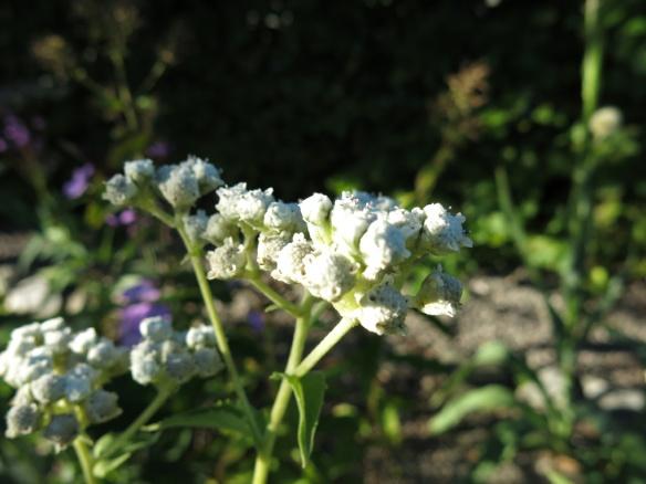 25 aug 16 stäpprabatten Pycnanthemum verticillatum var. Pilosum 'Bees Friend'