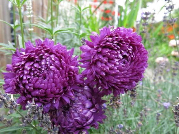 6 aug 16 lila aster