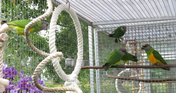 morhuvad papegoja ungar 20 juli 16 alla fem