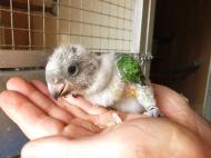 morhuvad papegoja ungar 20 juni 16 unge 2c