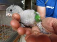 morhuvad papegoja ungar 20 juni 16 unge 3a