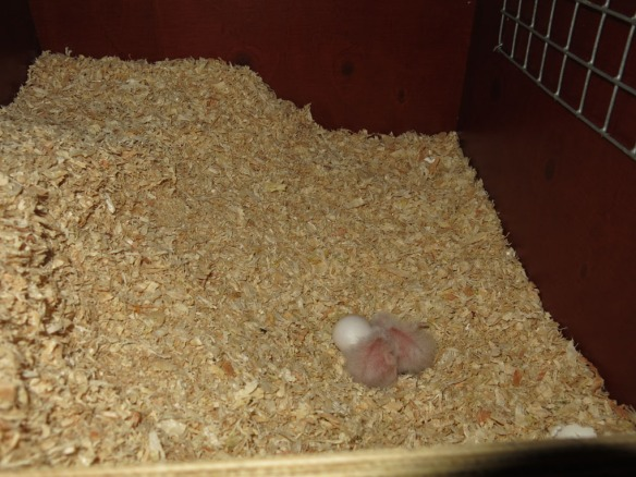morhuvad papegoja ungar 20 maj 16