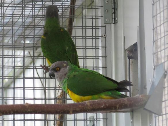 morhuvad papegoja ungar 25 juli 16 utevoljär