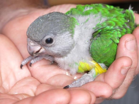 morhuvad papegoja ungar 27 juni 1a