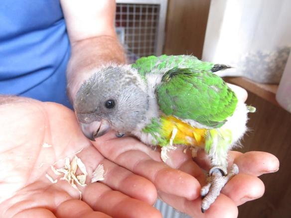 morhuvad papegoja ungar 27 juni 3b