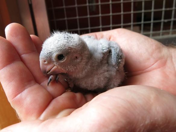 morhuvad papegoja ungar 9 juni 16 nr1