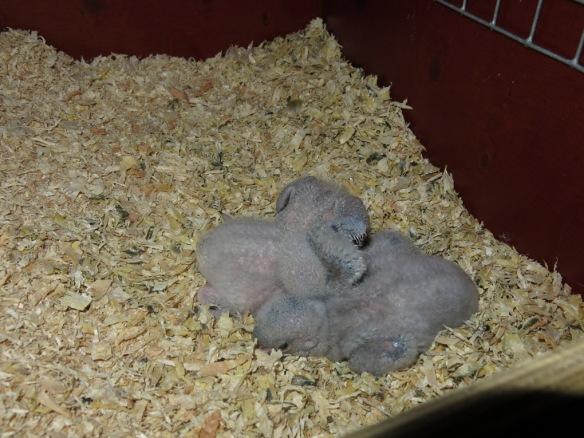 morhuvad papegoja ungar 9 juni 16 nr2