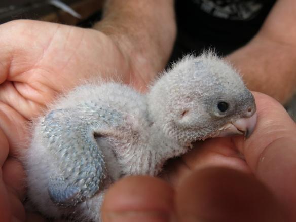 morhuvad papegoja ungar 9 juni 16 nr3