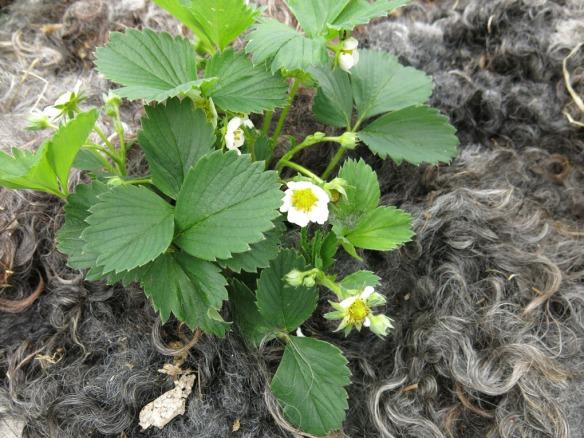 18-maj-16-barlandet-jordgubbar-farull-2