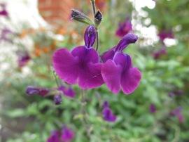 Salvia 'Naschtvlinder'