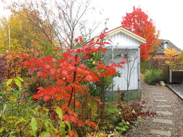 21-okt-16-fagelhuset-tradhornet-japanska-lonnar-ullungronn