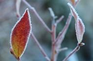 12-nov-16-frost-amerikanskt-blabar