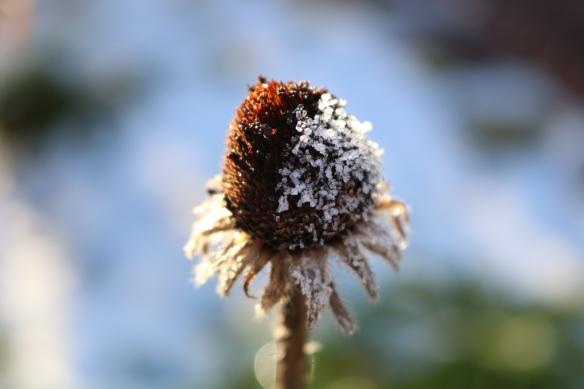 12-nov-16-frost-sommarrudbeckia