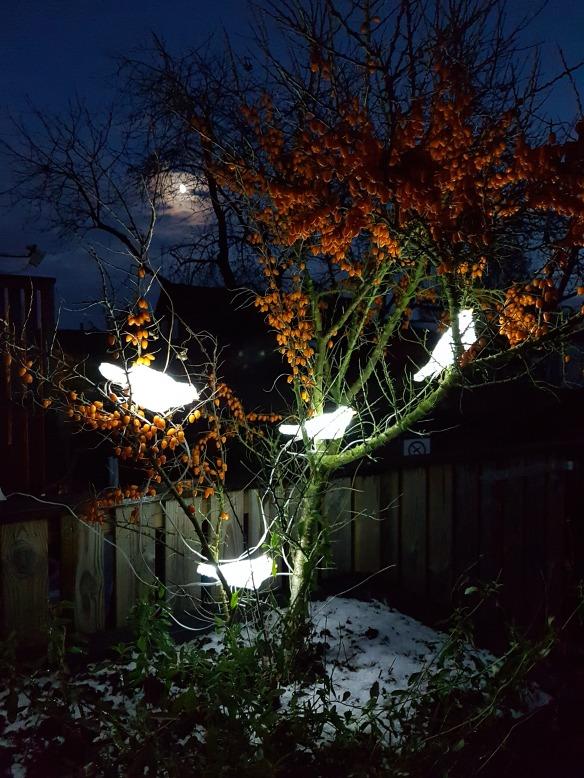 10 Nov 16 måne ledfåglar havtorn