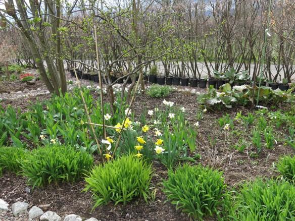 24-april-16-tradhornet-pingstliljor-paskliljor-fiber-krukor