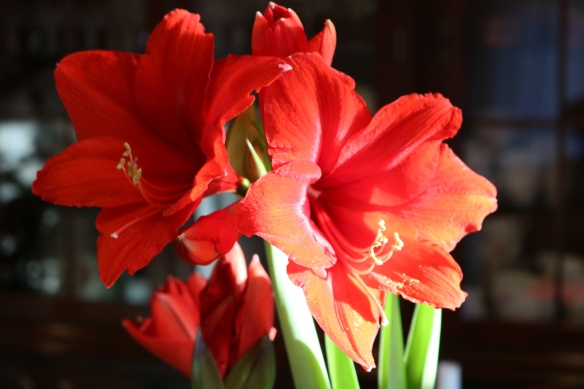 24-dec-16-kok-jul-amaryllis-red-knight-2