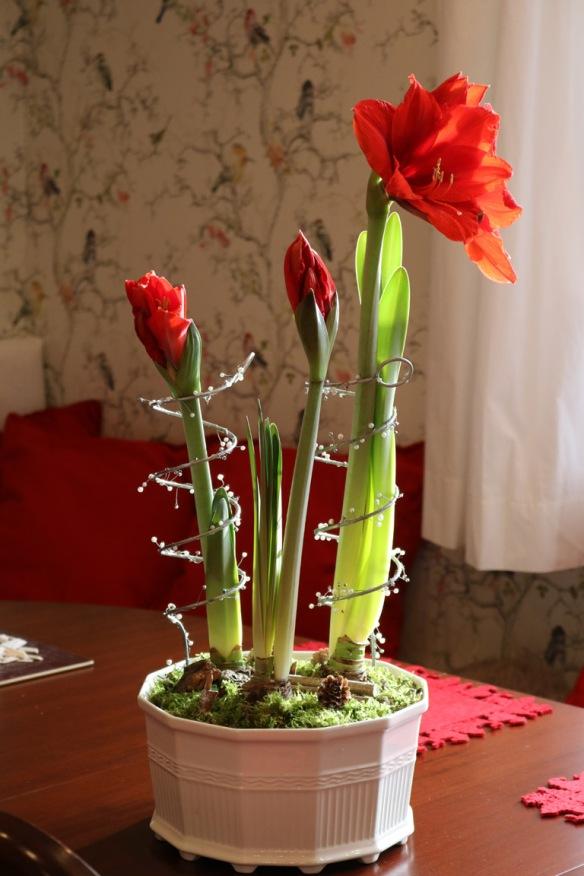 24-dec-16-kok-jul-amaryllis-red-knight-4