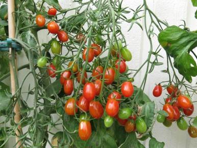 1-sep-16-tomat-cherry-roma