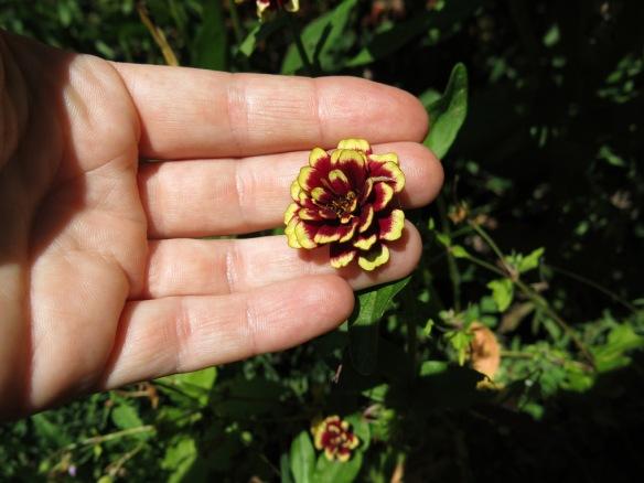 22-juli-16-zinnia-aztec-burgendy-bicolor